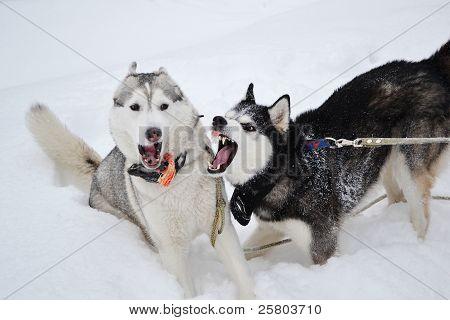 Two Aggressive Dogs