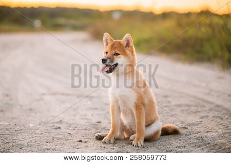 Beautiful Female Young Red Shiba Inu Puppy Dog Sitting Outdoor In Sandy Countryside Road.