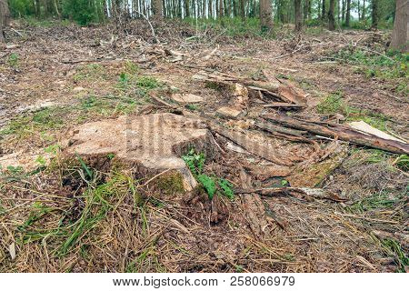 Closeup Of A Thick Stump Of A Tall Felled Tree In The Forest. Tree Bark, Twigs And Branches Surround