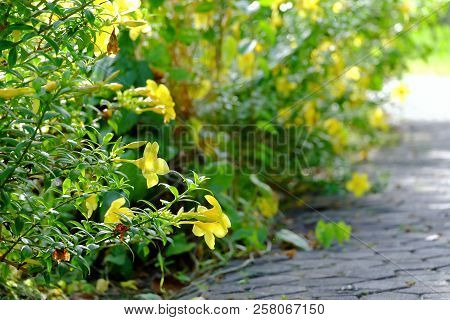 A Row Of Yellow Trumpet Flower Blossom In The Sidewalk At The Park With Warm Light In The Evening