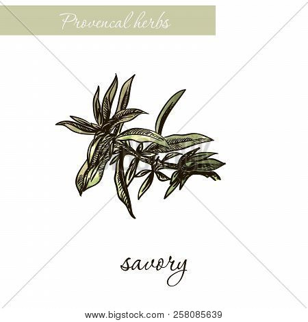 Savory. Natural Spices And Herbs. Sketch On White