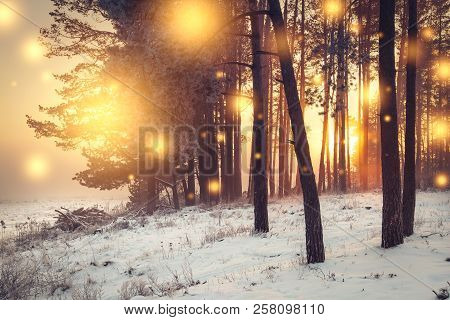 Christmas Background. Winter Forest At Sunrise With Shining Lights Snowflakes. Frosty Trees In Fores