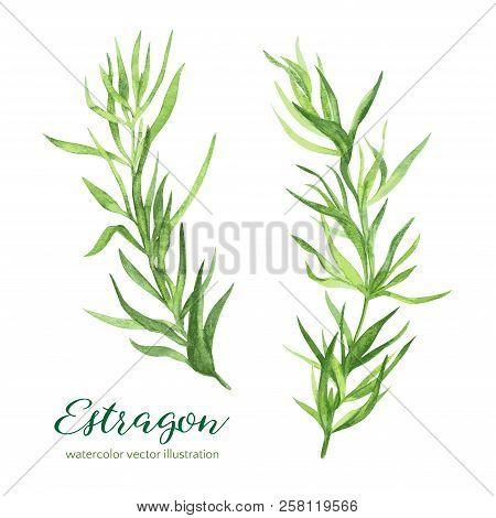 Estragon. Vector Watercolor Illustration, Hand Drawn Clipart.