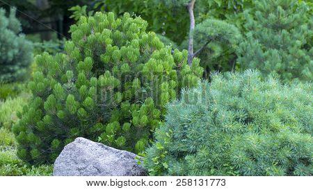 Cultivar dwarf mountain pine Pinus mugo var. pumilio in the rocky garden poster