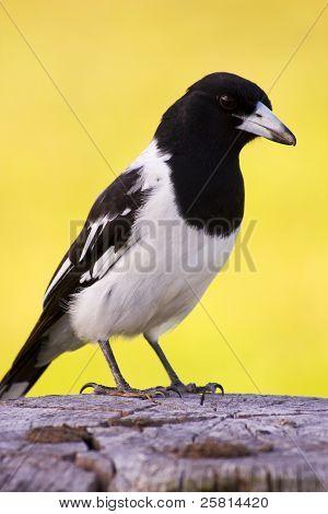 Fencepost Magpie