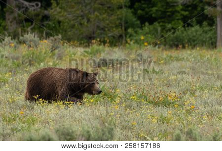 Grizzly Bear In Summer Field In Grand Tetons Wilderness
