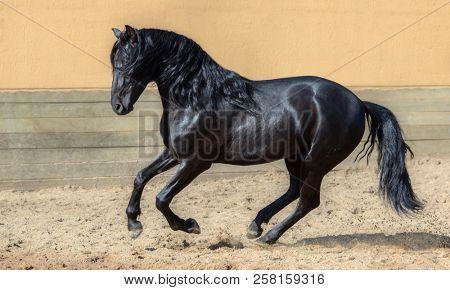 Black Andalusian horse galloping in paddock.