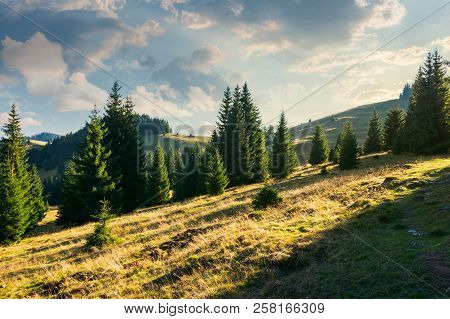 Spruce Forest On The Grassy Hill At Sunset. Beautiful Landscape In Autumn. Location Apuseni Mountain