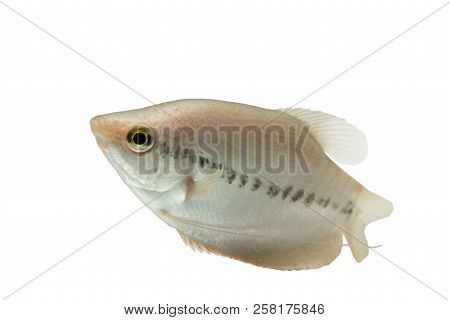 Pla Salit (trichogaster Pectoralis) ,fresh Raw Fish Isolated On White Background. And Clipping Path