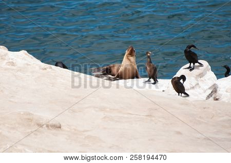 The Jolla Of San Diego. The California Sea Lion (zalophus Californianus) With Seabirds.their Color V
