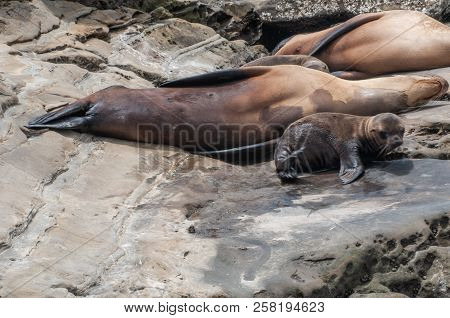 The Jolla Of San Diego. The California Sea Lion (zalophus Californianus) With A Puppy.their Color Va