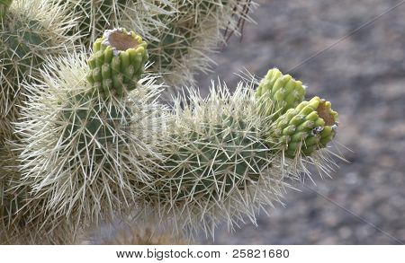 Jumping Cholla with fruit