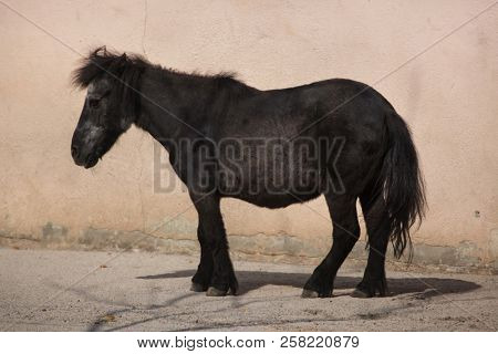 Shetland pony (Equus ferus caballus f. domestica). poster