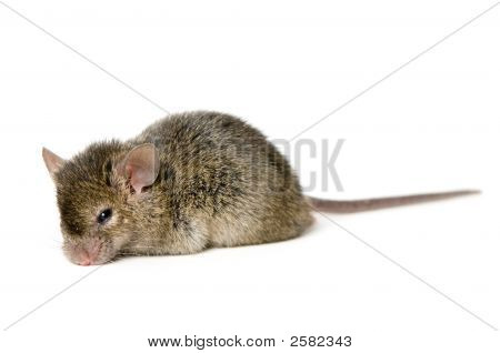 A cute brown mouse in white background poster