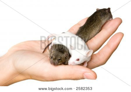 A hand holding three brown and white mice poster
