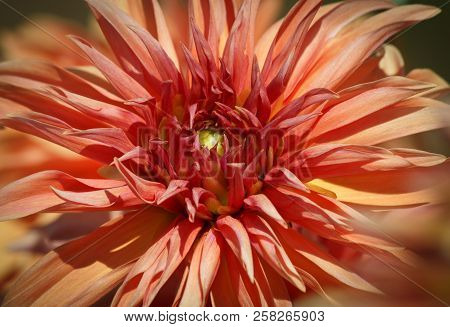 Closeup Of An Orange Red Dahlia Flower - Sunny Bright Look And Feel