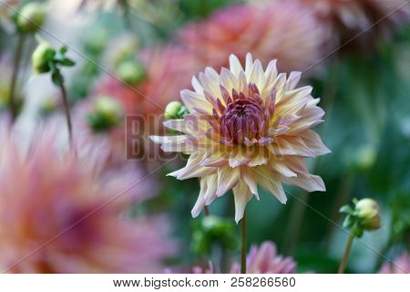 A Beautiful  Pink Pastel Colored Dahlia Flower In A Natural Garden Environment - Soft Look And Feel