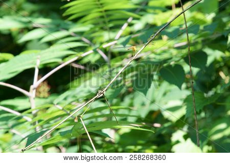 A Small Dragonfly On A Twig In Summer Season, Selective Focus