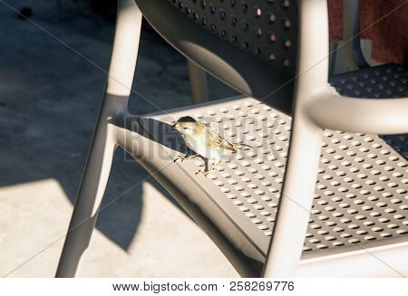 Small Sparrow On A Brown Chair, Horizontal Image