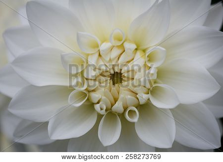 Closeup Of A Beautiful White Dahlia Flower
