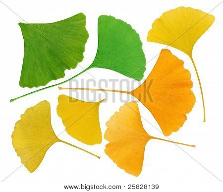 Ginkgo Biloba Leaves Herbarium Isolated On White, Macro
