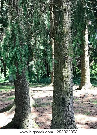 Two Spruce Trees With Powerful Trunks And Green Needles In A Coniferous Forest.