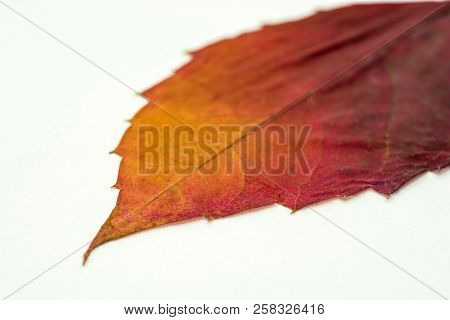 Dry Burgundy-yellow Leaf On A White Background.