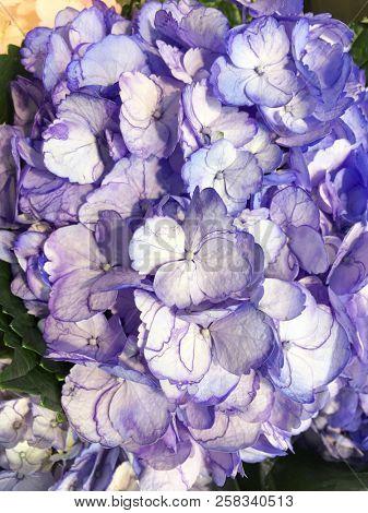 Hydrangea flower –close up