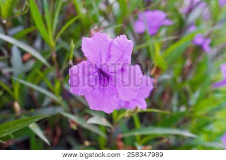 Purple Ruellias Flower In The Garden ,close Up