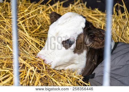 Hereford Calf Relaxing In Hay In A Barn Wrapped In A Carpet