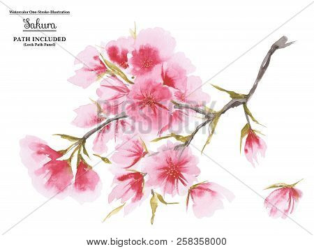 Watercolor Cherry Blossom In Asian One-stroke Painting Style. White Background, Path Included