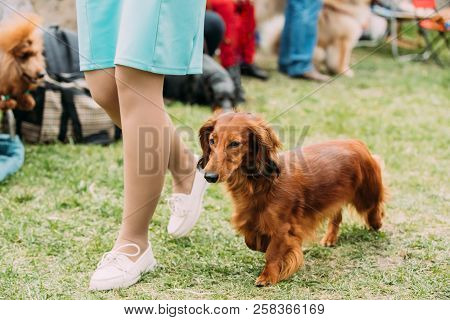 Brown Red Longhaired Dachshund Dog Running Near Woman In Green Grass During Training.