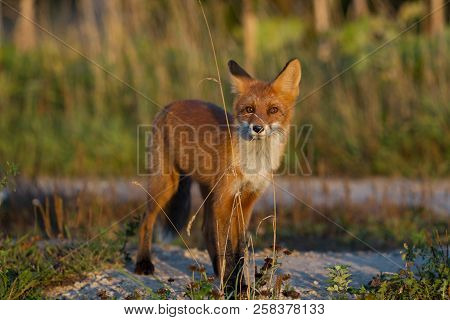 A Cute, Young, Fiery, Red Fox Cub Is Lit By The Evening Sun, Against The Background Of Grass. He Loo