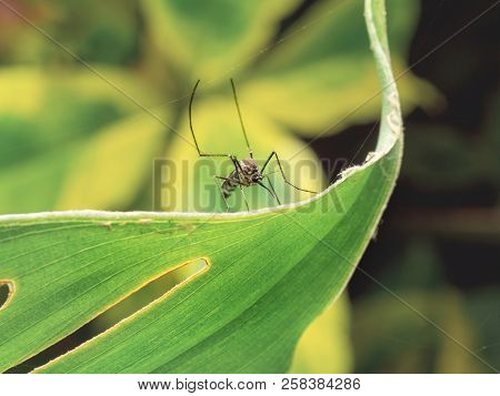 Close Up Of Aedes Aegypti Mosquito Resting On The Leaf In Garden. Aedes Is A Genus Of Mosquitoes Tra
