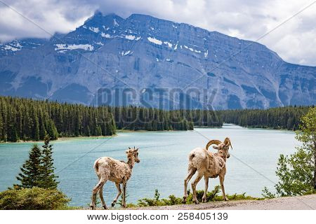 Two Goats By Two Jack Lake In Balff National Park
