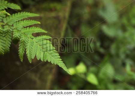 Tropical Green Fern Leaves In Wilderness, Closeup. Space For Text