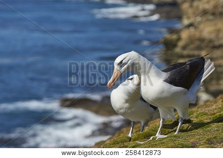 Pair Of Black-browed Albatross (thalassarche Melanophrys) Courting On The Coast Of Saunders Island I