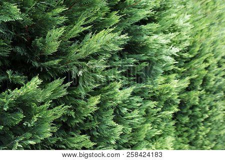 Beautiful Evergreen Conifer Bushes As Background, Closeup