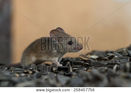 Closeup Young Wild Mouse Slinks On Pile Of Sunflower Seeds In Warehouse. Concept Of Fight With Roden