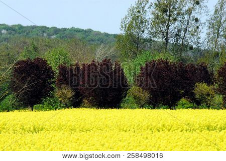 Spring In Picardy France Includes Beautiful Bright Yellow Canola Blossoms Across The Countryside. No