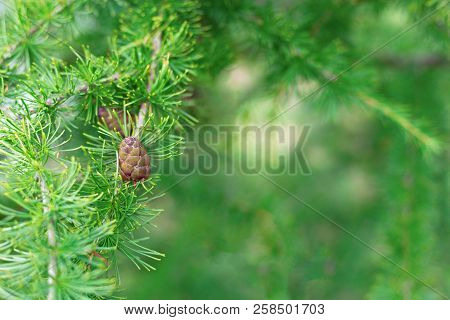 Young Twig Of Spruce With Coniferous Cone On Background Of Blurred Green Needles. New Year Greeting