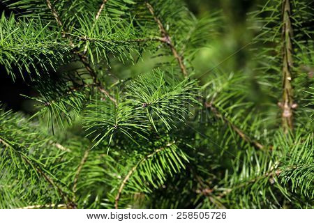 Close-up Of Fir (abies) Evergreen Coniferous Tree In The Family Pinaceae. Macro Photography Of Natur