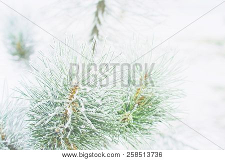 Coniferous Branches Covered With Hoarfrost. Branches Of Christmas Fir-tree With Rim Frost In Winter