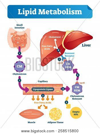 Lipid Metabolism Vector Illustration Infographic. Labeled Medical Cycle Scheme With Small Intestine,