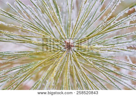 Coniferous Branches Covered With Hoarfrost.close-up Of Green Fir Branch Covered With Powder Snow; Wi