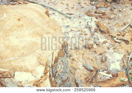 Top View Of Tree Stump. Snow, Forest, Background, Top View, A Rotten Stump.