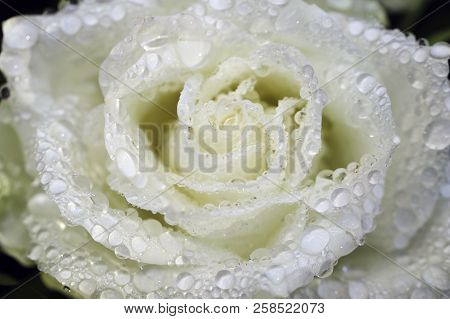 Portrait Of White Roses In The Summer Garden After The Rain. Macro Photography Of Nature.