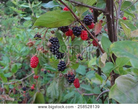 Ripe And Ripening Berries Growing In East Tennessee, Usa.