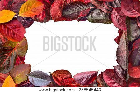 Bright Colorful Frame  Of Aronia Melanocarpa (chokeberry) Autumn Leaves Close Up On White Background