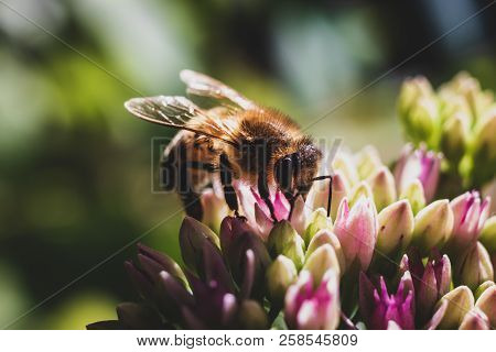 Honey Bee Close Up Pollinating A Vivid Purple Flower With A Blurred Background